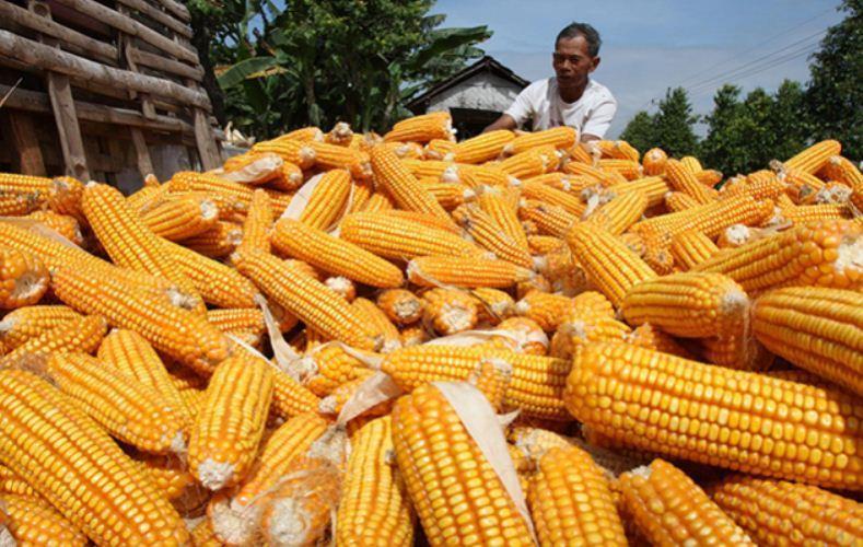 Produksi Jagung di Lampung Timur Meningkat