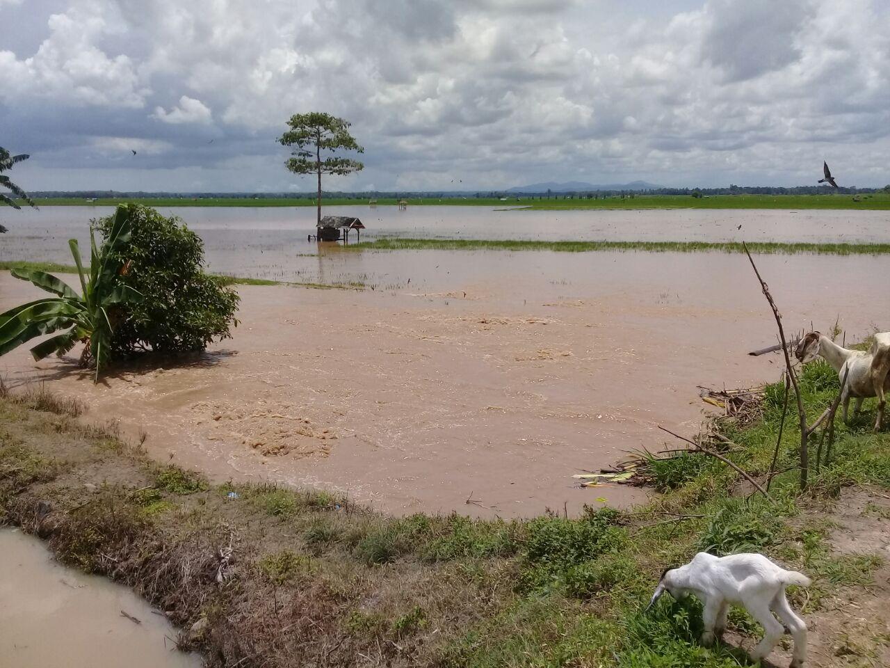 Ratusan Hektare Areal Persawahan di Candipuro Terendam Banjir