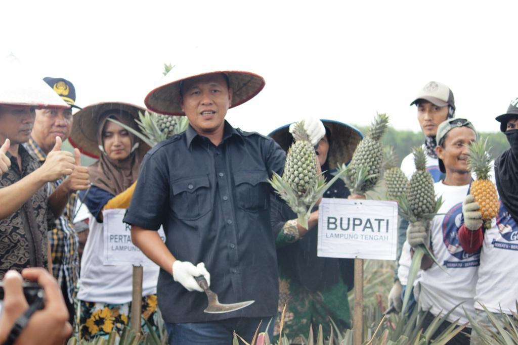 LAMPUNG POST | One Zone One Product, Kecamatan Punggur Jadi Sentra Budi Daya Nanas Batu