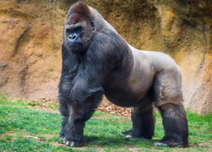 Foto dengan Gorila