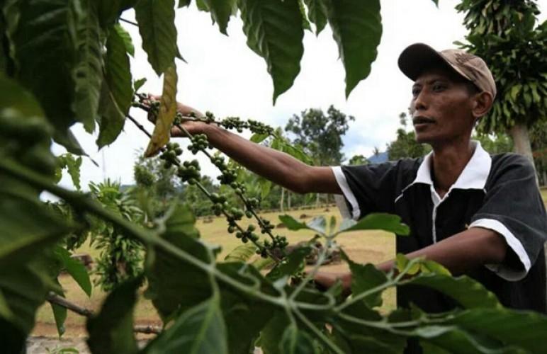 Harga Anjlok, Perusahaan Diminta Serap Kopi Dalam Negeri