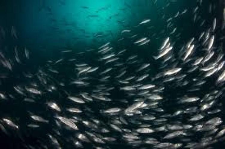 Ikan Laut Deteksi Warna di Kegelapan