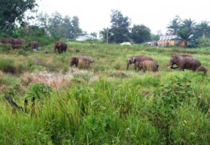 Kawanan Gajah Kembali Datangi Pemukiman Warga di Register 39