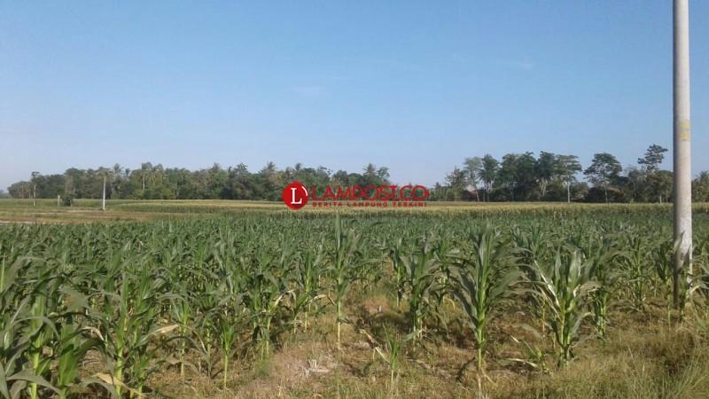 Kemarau, Sawah di Desa Kalibening, Kecamatan Pekalongan Ditanami Jagung