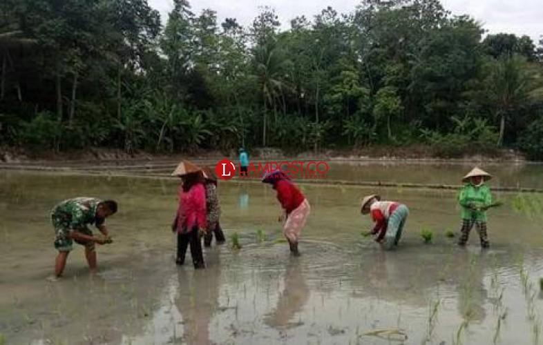 Lima Kecamatan di Lamsel Dapat Bantuan Tanam Padi Hazton