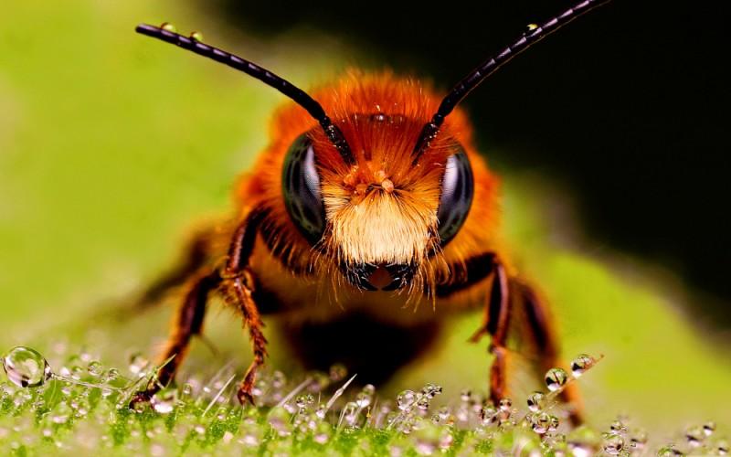 Mata Sarang Lebah