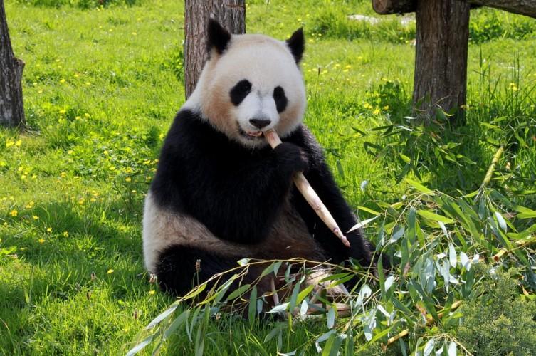 Panda Pelukis