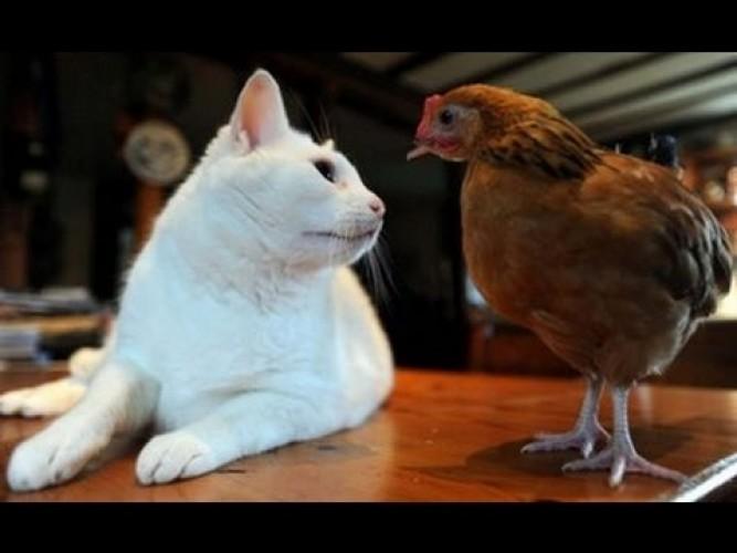 Persahabatan Kucing-Ayam
