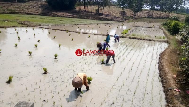 Petani di Palas Diimbau Segera Garap Lahan Sawah