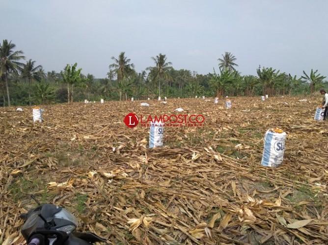 Produksi Anjlok, Harga Jagung Melesat Capai Rp 4.400/Kg