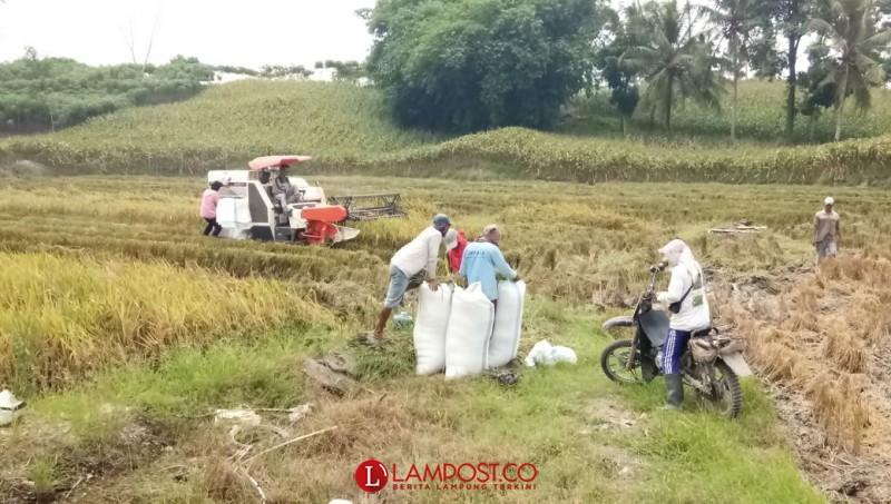 Produksi Padi di Desa Bumirestu Merosot