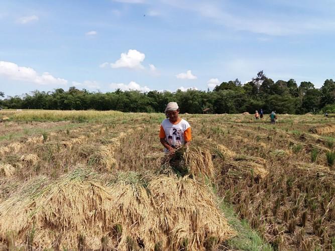Produksi Padi  Petani Bandaragung Menurun Drastis Karena Terdampak Kemarau