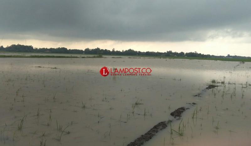 Ratusan Hektare Tanaman Padi di Palas Dipastikan Puso