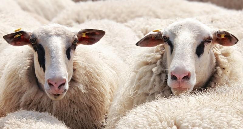 Seorang Remaja Tertimpa Domba