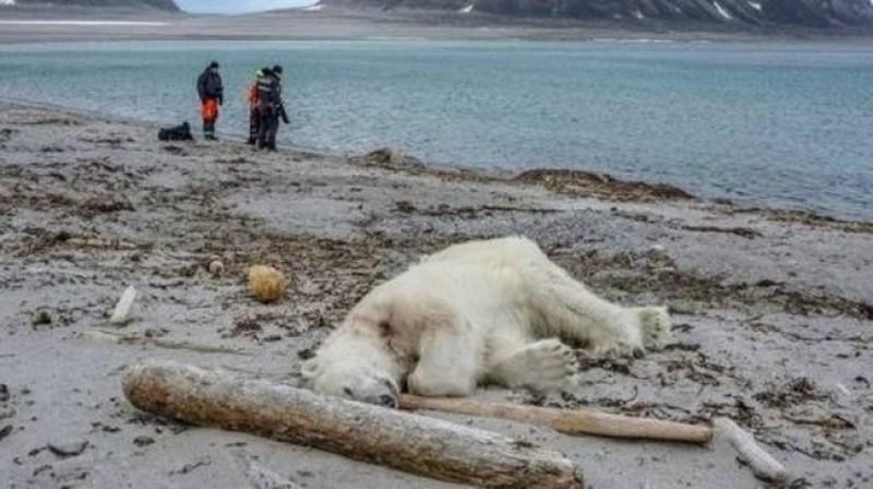 Serang Manusia, Beruang Kutub Ditembak Sampai Mati