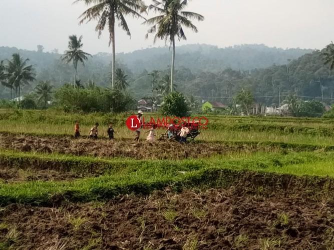 Serangan Burung Sebabkan Penen Petani Menurun