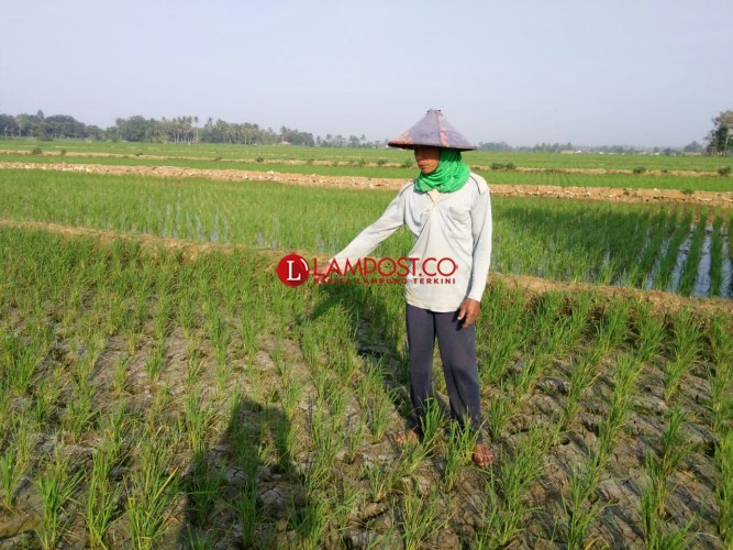 Sundep Mulai Menyerang Padi Petani di Kecamatan Sekampung
