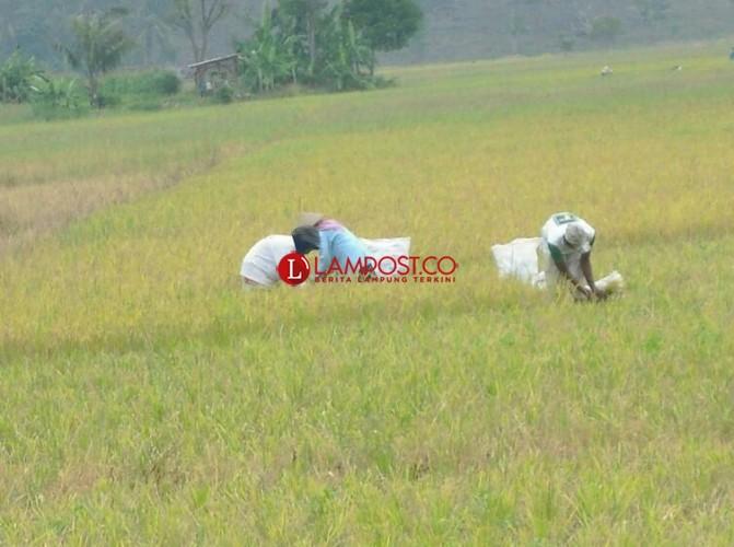 UPT Dinas Pertanian Ketapang Nyatakan 205 Ha Lahan Padi Dipastikan Gagal Panen