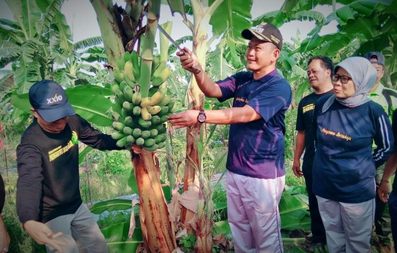Wakil Bupati Pringsewu Panen Perdana Pisang Hasil Kultur Jaringan