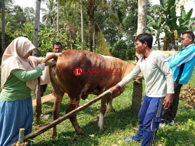 Yanduwan Lampung Timur Sudah Tangani 2.243 Ekor Sapi